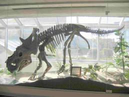 pachyrhinosaurus skull  Ce squelette de Pachyrhino...